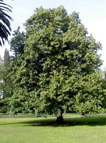 Brasswood / Linden Tree, 0