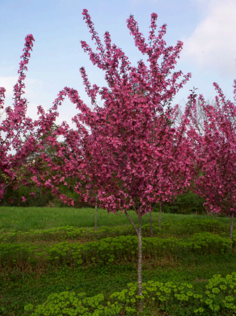 Crabapple Prairie Tree, 0