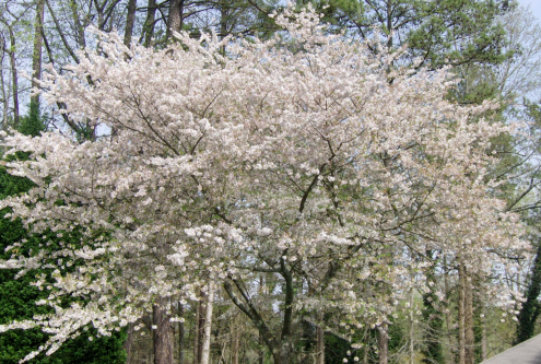 Dogwood-White Flowering Tree, 5