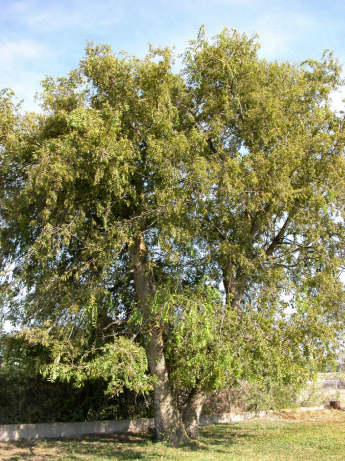 Hackberry Tree, 0