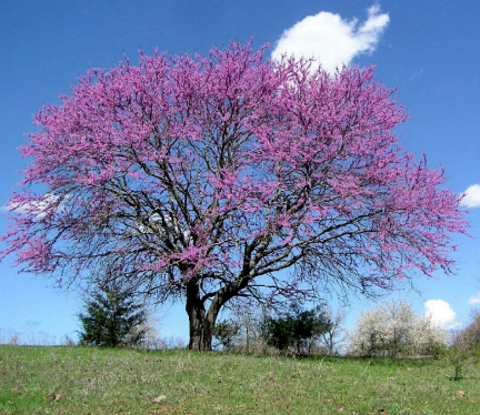 Redbud, Eastern-Multi Tree, 0